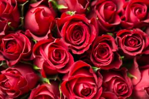 2月の赤いバラ