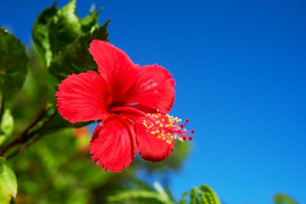 7月の花ハイビスカス